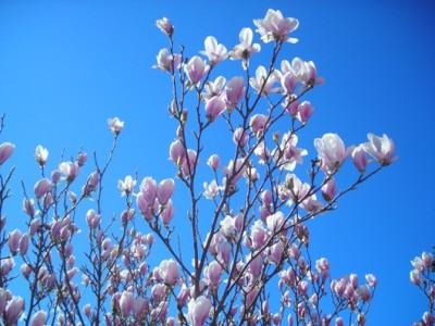magnolia_2_textbild-jpg