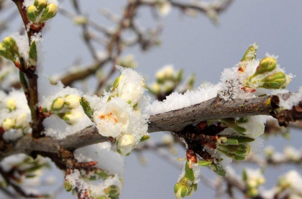 plommonträd trädgård höstfin